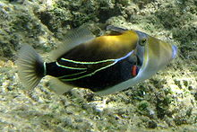 220px-Reef_Triggerfish