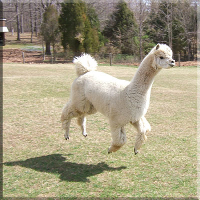 Alpaca Kung Fu