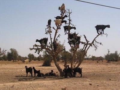 crazy_goats_17